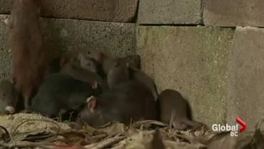 Vancouver rat problem keeps pest control companies busy - BC
