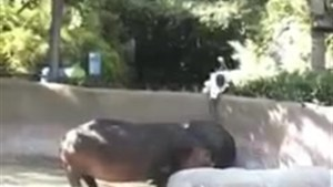 Police investigating after man seen spanking hippo at Los Angeles Zoo
