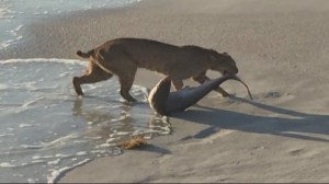 Photo shows bobcat dragging shark from Florida beach
