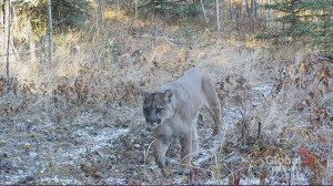 What's lurking in the woods? Remote camera photography captures surprising number of critters west of Calgary