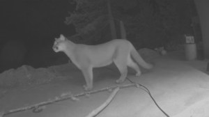 Caught on camera: Large cougar in Deep Cove