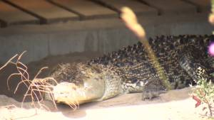 Dinosaurs are back at Indian River Reptile Zoo (02:43)
