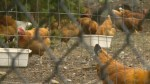 Victoria community up in arms over neighbour's backyard fowl