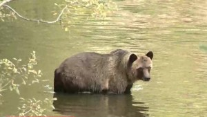 B.C. government stopping contentious grizzly bear trophy hunt