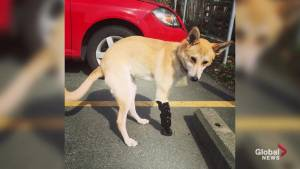 Two-legged rescue dog named Roo gets new lease on life with prosthetic leg