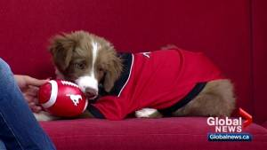Calgary Stampeders introduce newest team member: a foster puppy