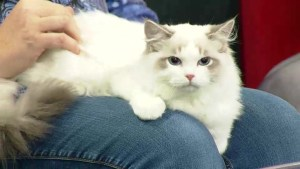Heartland Cat Fanciers Club 'Prairie Paws' show