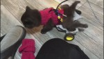Stray kitten given new lease on life thanks to Lego wheelchair