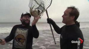 Mark Madryga goes Dungeness crab net fishing