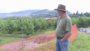 Wet weather spells disaster for Okanagan cherry crop