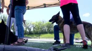 German shepherds and their handlers compete for spot at worlds in Saskatoon