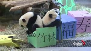 Pandas celebrate their first birthday at the Toronto Zoo