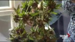 Quebec tables marijuana bill