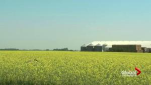 Saskatchewan asks Ottawa to increase cash advances for canola farmers