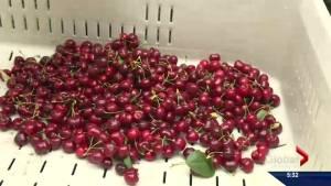 Okanagan weather splits cherries damaging projected record season