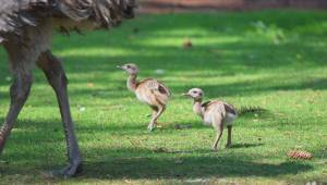 First baby rhea chicks hatch at the Calgary Zoo