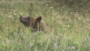 Squamish grizzly bear alert