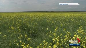 Canola industry showcases Alberta's 'other oil'