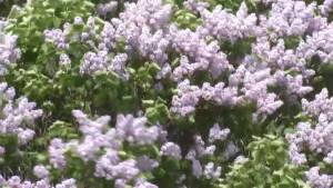 Lilac season is here, but what do you know about this fragrant plant? (01:36)