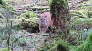 Woman speaks about cougar encounter while out camping