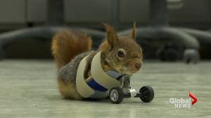 Injured Turkish squirrel gets prosthetic set of wheels