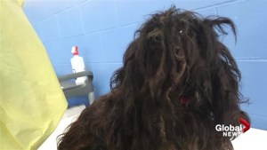 Former breeder surrenders 45 'extremely filthy and matted' dogs to BC SPCA