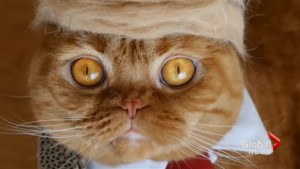 Japanese artist turns cat fur into Trump wigs and sushi hats