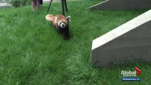 Edmonton Valley Zoo expansion includes red panda space