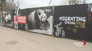 Sneak peek of Panda Passage at the Calgary Zoo
