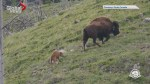 Bison free-roaming Banff National Park's backcountry