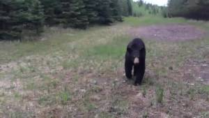 Manitoba's Bear Rehabilitation Centre could open this summer
