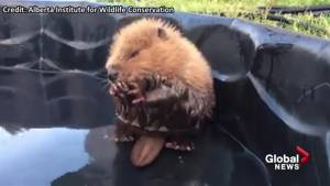 Injured baby beaver recovers in Alberta pool