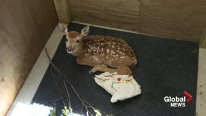 Hope for Wildlife sees large influx in injured fawns