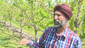 Okanagan orchardists dealing with foreign workers shortage