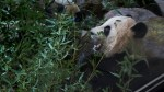 'Panda Express' set to make eighth delivery of cuddly animals