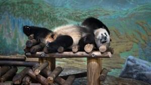 Giant pandas' journey from Toronto Zoo to  Calgary Zoo begins