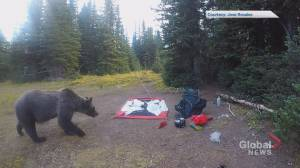 Video captures Alberta man and his dog's close encounter with grizzly bear, cubs