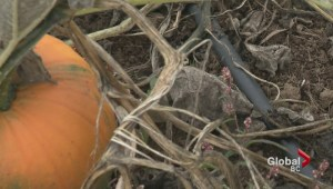 Hot summer could lead to pumpkin shortage
