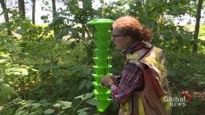 Scientists set fungus-filled traps for Emerald Ash Borer in Bedford