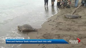 Vancouver Aquarium releases 7 seal pups back into the wild – but not all of them want to go.