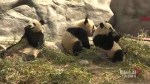 Hundreds come to say farewell to pandas at Toronto Zoo