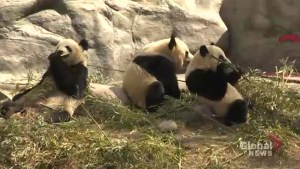 Hundreds come to say farewell to pandas at Toronto Zoo