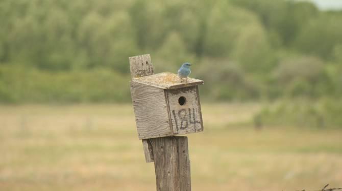 Bringing back the bluebird: Four out of five species declining on Saskatchewan grasslands
