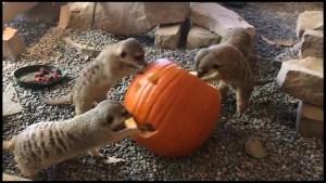 Meerkats meet a Jack o'-lantern at Peterborough zoo