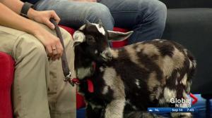 Edmonton Valley Zoo: Baxter the baby goat