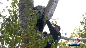 Bear stuck in Calgary tree tranquilized and moved