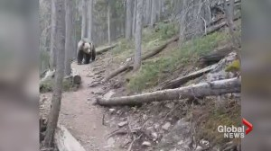 Australian couple captures video of close encounter with grizzly in Kananaskis