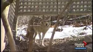 Coyote sightings spike in Winnipeg