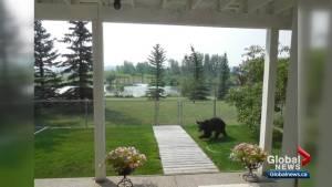 Black bear sighting temporarily closes Cochrane park