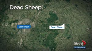 Video shows 15 sheep carcasses found on Alberta property